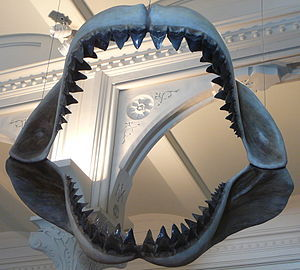 300px-Megalodon_shark_jaws_museum_of_natural_history_068[1].jpg